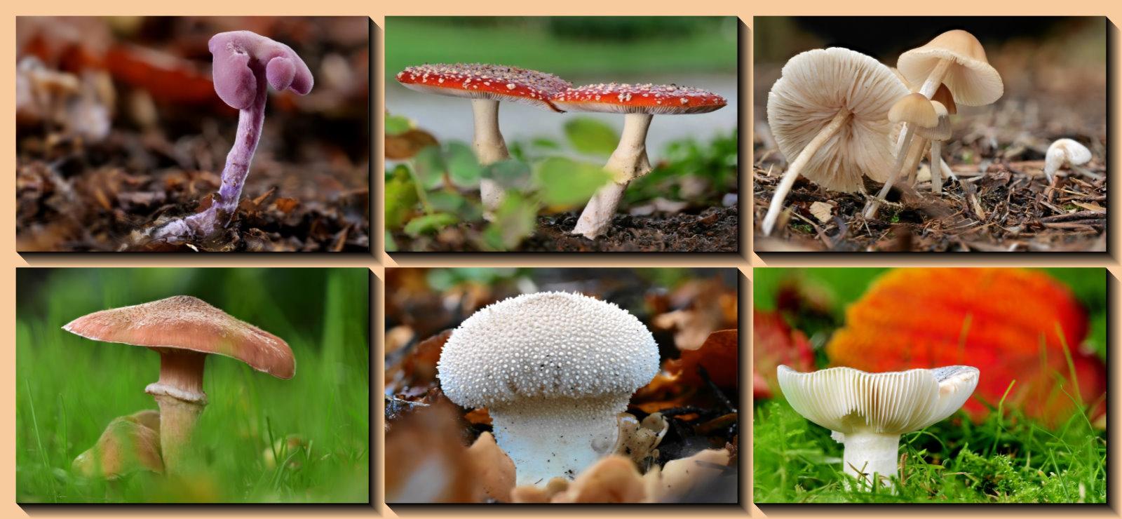 Collage meiner Pilzbilder